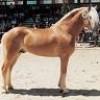 chevaux-haflingers
