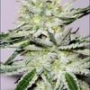 weednumberone