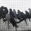 jacky-oiseaux
