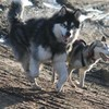 mushing-dogs