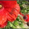 my-wonderwall-poppy