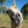lauret-amour-chevaux