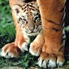 un-amour-de-tigre