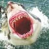 requins-blancs26