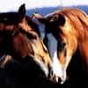 chevaux387