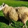 moutondu62100