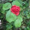 Red-Rose-Metal