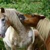 fantastica-chevaux