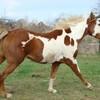 xx-magnum-painthorse-xx