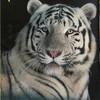 tigreblanc72220