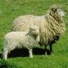 mouton-80