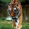 tigre1367