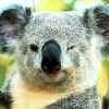 Ti-koala