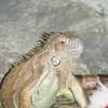 zezette-mon-iguane