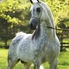 HorsesArabians