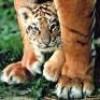 Tigersdel