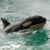 minii-orca