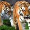 panthera--tigris