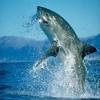 requin-133