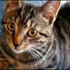 shyly-kitten