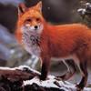 renard-rouge