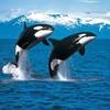 orca-whisper