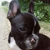 Bulldog-Dicky