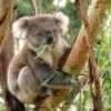 koalapinpon