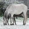 chevaux-apaloosa