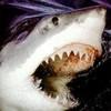 shark539
