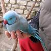 Perroquet11