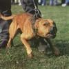 chien-dangereux555