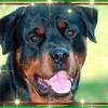 Rottweiler73000