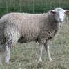 mouton-friizer
