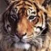 tit-tigresse01