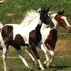 lov-paint-horse