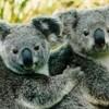 koalas72