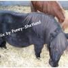 Poney-Shetland