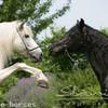 paradie-horses