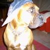 moi-chien-boxer