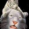 tigreblanc15646