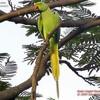 oiseaux-de-voliere