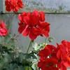 geranium-Lalaoui