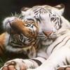 tigreblanc50