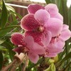orkidgirl