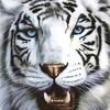 tigre-37