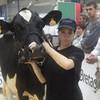 66-Holstein-66