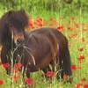 pony--passion