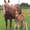 poney-cheval