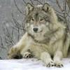 Loup-Passion